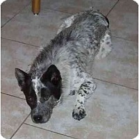 Adopt A Pet :: Tracer *ADOPTION PENDING* - Phoenix, AZ