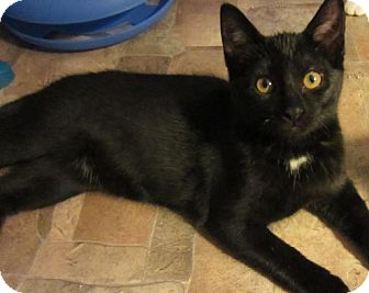 Domestic Shorthair Kitten for adoption in Des Moines, Iowa - Clove