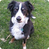 Adopt A Pet :: Smokey - Denver, CO