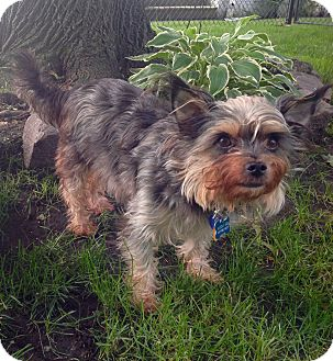 Yorkie, Yorkshire Terrier/Cairn Terrier Mix Dog for adoption in Lincolnwood, Illinois - Mia