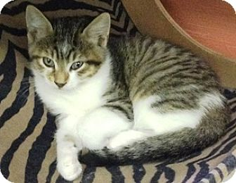 Domestic Shorthair Cat for adoption in Fort Benton, Montana - Sandy