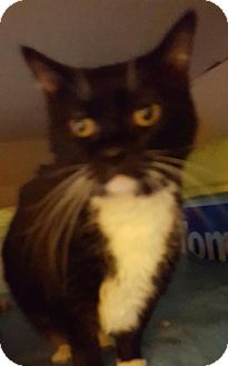 Domestic Shorthair Cat for adoption in New Bedford, Massachusetts - Sally