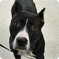 Adopt A Pet :: Gloria - Troy, MI