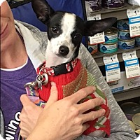 Italian Greyhound Mix Puppy for adoption in West Los Angeles, California - Cozy