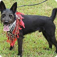 Adopt A Pet :: HOBBES - Joplin, MO