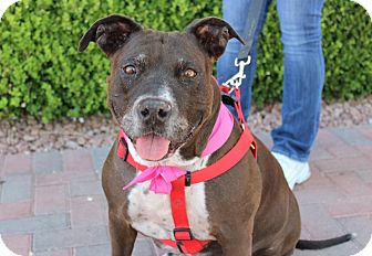 American Pit Bull Terrier/Pointer Mix Dog for adoption in Las Vegas, Nevada - CADY