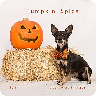 Chihuahua Mix Dog for adoption in Riverside, California - Pumpkin Spice