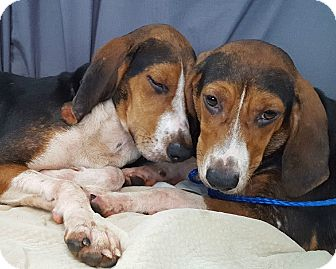 Beagle/Hound (Unknown Type) Mix Dog for adoption in Lexington, Massachusetts - Margo & Marla