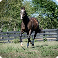Thoroughbred for adoption in Nicholasville, Kentucky - Bold North