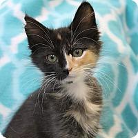 Domestic Longhair Kitten for adoption in Wichita Falls, Texas - Bianka