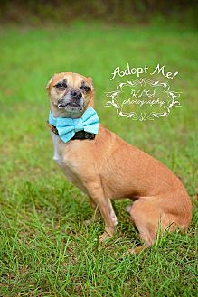 Chihuahua Dog for adoption in Fort Valley, Georgia - Niko