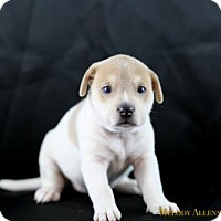 Shar Pei Mix Puppy for adoption in Glastonbury, Connecticut - Sophia Loren