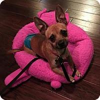 Chihuahua Mix Dog for adoption in Alpharetta, Georgia - Rowan (Dog)