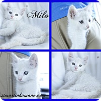 Domestic Mediumhair Kitten for adoption in Breaux Bridge, Louisiana - Milo