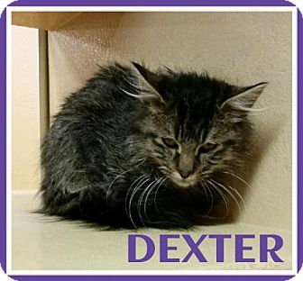 Maine Coon Cat for adoption in Lawton, Oklahoma - DEXTER
