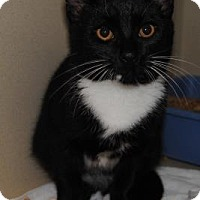 Domestic Shorthair Kitten for adoption in Ridgeland, South Carolina - Dumplin
