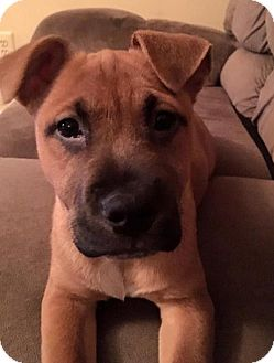American Pit Bull Terrier Mix Puppy for adoption in Spotsylvania, Virginia - Candy