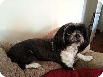 Lhasa Apso/Shih Tzu Mix Dog for adoption in Los Angeles, California - FELIX