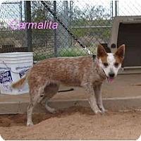 Adopt A Pet :: Carmalita - Phoenix, AZ
