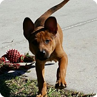 Adopt A Pet :: Jinger - Weeki Wachee, FL