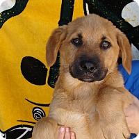 Adopt A Pet :: Harley - Oviedo, FL