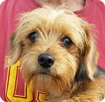 yorkie rescue kentucky lexington ky yorkie yorkshire terrier dachshund mix 1045