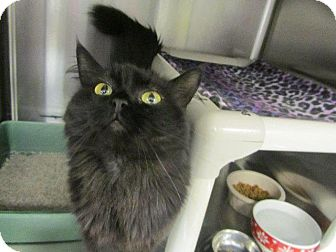 Domestic Longhair Cat for adoption in Grand Junction, Colorado - Ocean