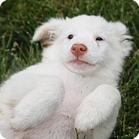 Adopt A Pet :: Gabriel - Las Vegas, NV