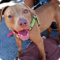 Pit Bull Terrier/Vizsla Mix Dog for adoption in Santa Monica, California - Cinnamon