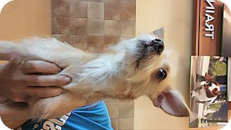 Terrier (Unknown Type, Small) Mix Dog for adoption in LAKEWOOD, California - Jerry