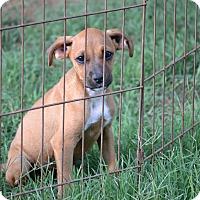 Adopt A Pet :: Phoebe - Wilminton, DE