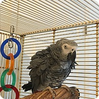 African Grey for adoption in Punta Gorda, Florida - Joey