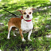 Chihuahua Mix Dog for adoption in Jupiter, Florida - Grumpy Face
