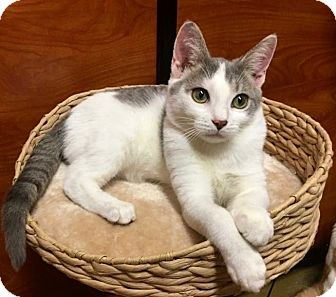 Domestic Shorthair Cat for adoption in Long Beach, New York - Mouse