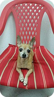 Chihuahua Mix Dog for adoption in Tampa, Florida - Willy *
