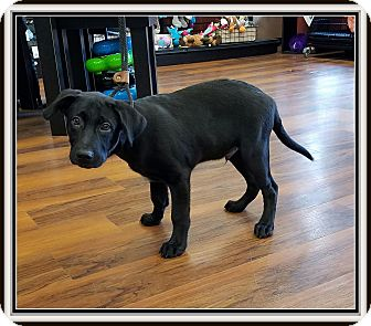 Labrador Retriever Mix Puppy for adoption in Milford, New Jersey - Monty