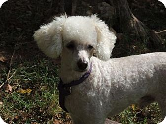Poodle (Miniature) Mix Dog for adoption in Franklin, Tennessee - ARCHIE