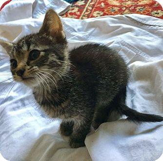 Domestic Shorthair Kitten for adoption in Hoffman Estates, Illinois - Skelly