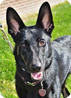 German Shepherd Dog Dog for adoption in Gretna, Nebraska - Willow