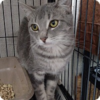 Domestic Shorthair Kitten for adoption in Yuba City, California - Dasher