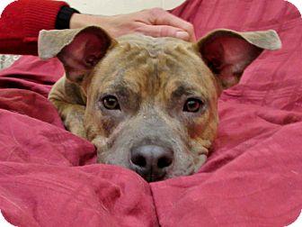 Pit Bull Terrier Mix Dog for adoption in Boston, Massachusetts - CHAPPIE