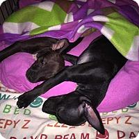 Adopt A Pet :: Tilly - Wenonah, NJ
