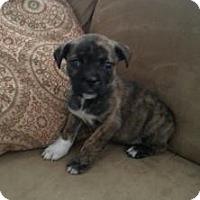 Adopt A Pet :: Pebbles - Marlton, NJ