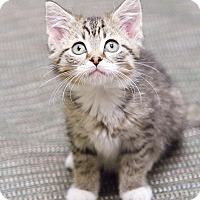 Adopt A Pet :: Kwazzi Kitten - Chicago, IL