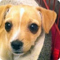 Adopt A Pet :: Brie - La Quinta, CA