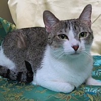 Domestic Shorthair Cat for adoption in St. Louis, Missouri - April