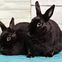 Dutch Mix for adoption in Los Angeles, California - Nightfall & Nocturne