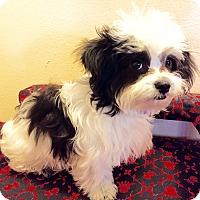 Adopt A Pet :: Puppy Milo - Encino, CA