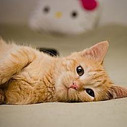 Photo 1 - Domestic Shorthair Cat for adoption in St. Louis, Missouri - Albie