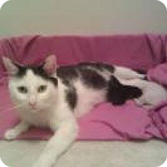 Domestic Shorthair Cat for adoption in Duluth, Georgia - Qtip